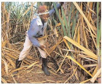 The ancestors of many Caribbean islanders were brought as slaves to work on the sugarcane plantations. In the New World, their traditional African cuisines integrated new flavors both from their new environment and from the cuisines of various European colonial powers. [Catherine Karnow/Corbis. Reproduced by permission.]